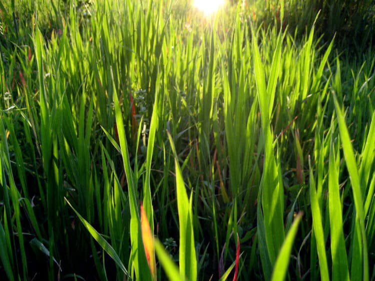 mowing tall grass