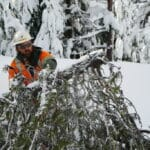 Limbing a tree with a chainsaw